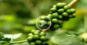 דיאטה- איך לשרוף שומן בעזרת קפה ירוק